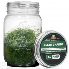 CleanChaeto - Live Chaetomorpha Algae