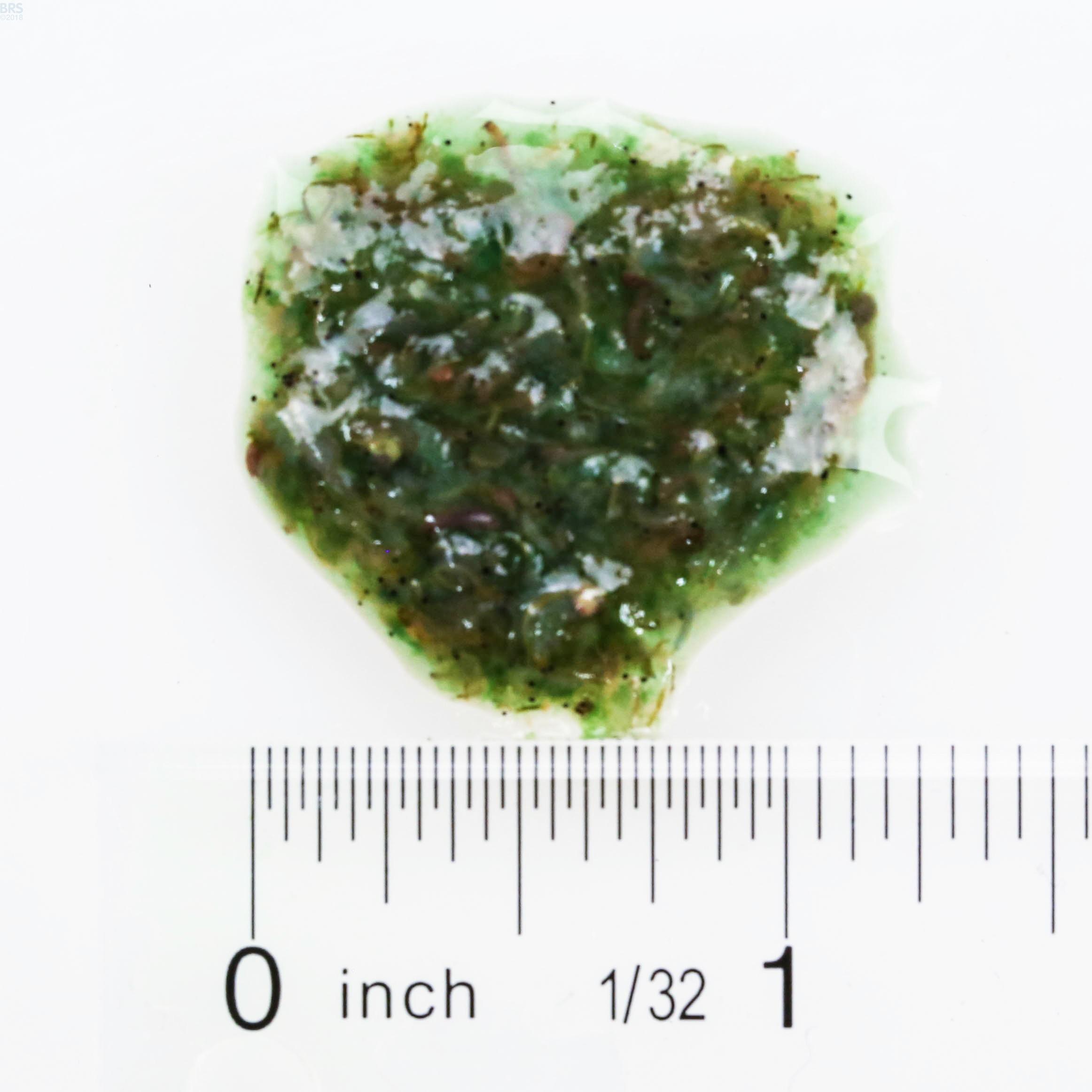 Bio Pure Frozen Spirulina Brine Shrimp Hikari Bulk