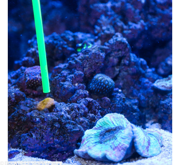 Coral Pointer - Red - 5 pack