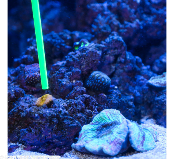 Coral Pointer - Orange - 1 pack