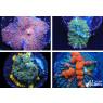 Mushroom Live Coral Pack - Top Shelf Aquatics